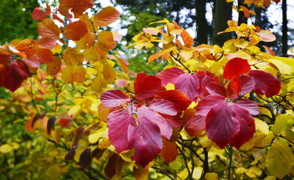 Fothergilla major October
