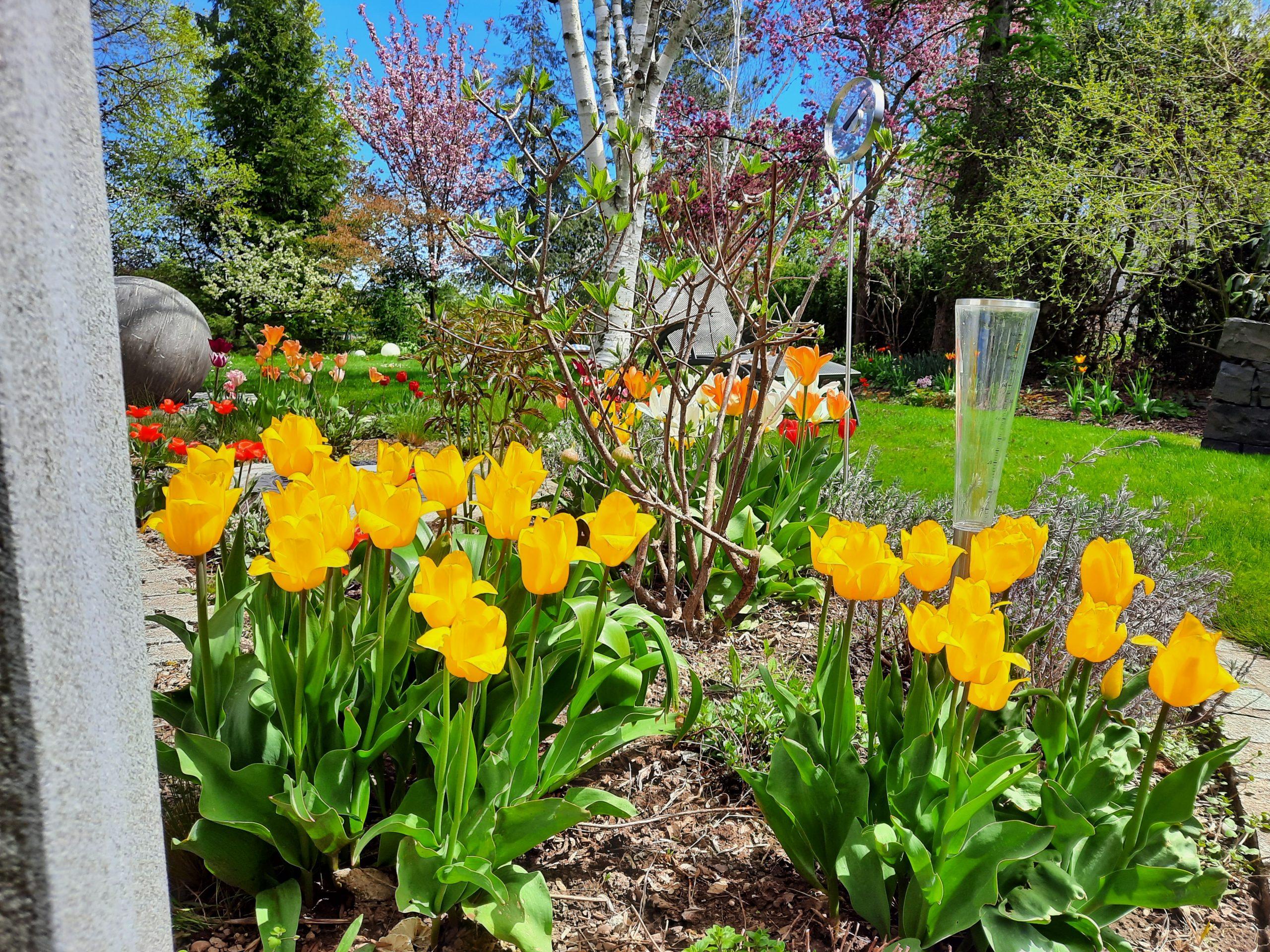 Tulpen und Regenmesser